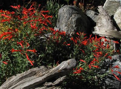 [Zauschneria-californica---Epilobium-canum.jpg]
